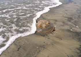 Медуза на черном песке...