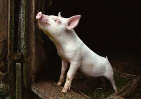 Почему мусульманам запрещено употреблять в пищу свинину, вернее в связи с чем возник этот запрет?