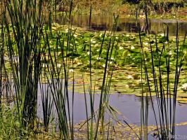 Еще лилии из затоки( так моя бабушка называла рукава и ерики реки)