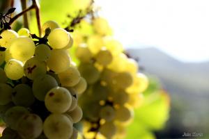 Как называется этот сорт винограда?