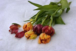 Тюльпаны на снегу