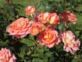 Это гибрид чайно розы и ещё какой-то . . .