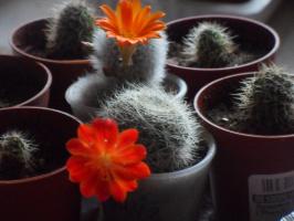кактусы: маммилярия, ребуция