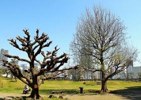 Странные деревья Японии