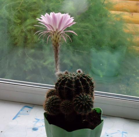 Сколько цветет кактус в домашних условиях 172