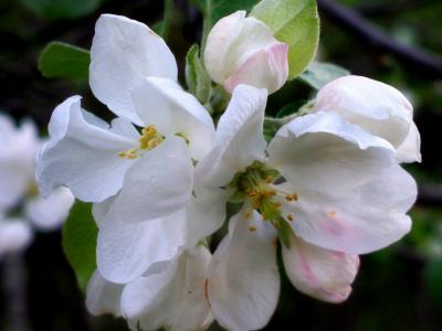 Яблоня в цвету.