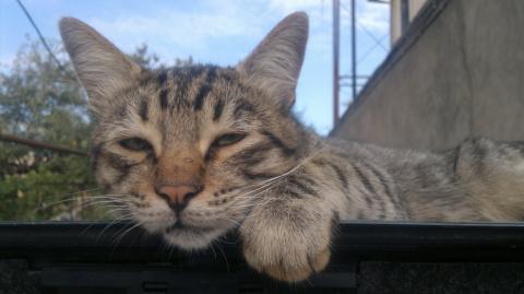 Мой кот! По имени Шеф!!!!!!!