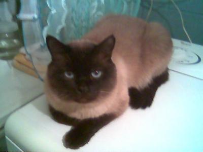кот Яшка на стиральной машине