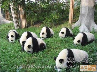 панды ищут потерянную сережку