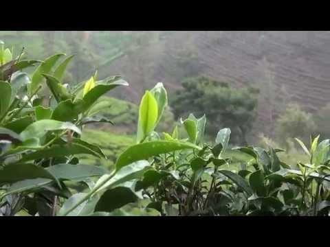 Как собирают чай на Шри-Ланке