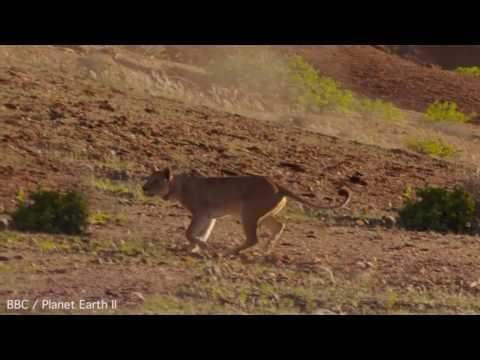 Львица напала на жирафа и оч…