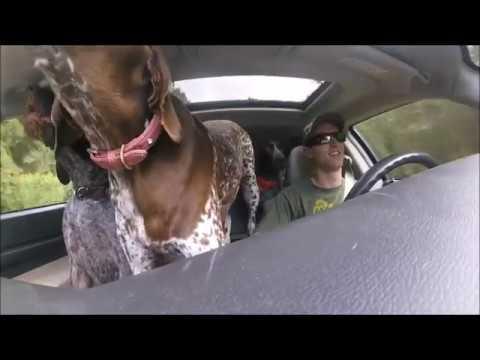 Собаки узнают, что их везут …