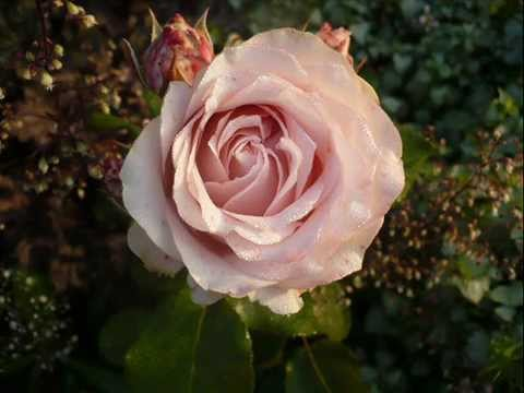 Сибирь и розы…