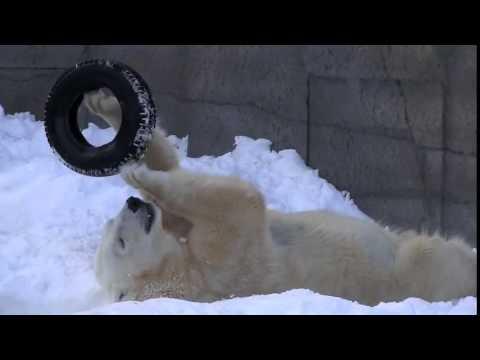 Белый медведь и резиовая покрышка