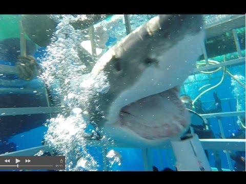 Большая белая акула ворвалас…