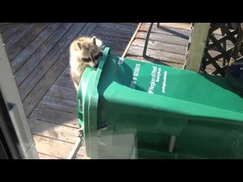 Енот украл мусорный бак. Целиком!