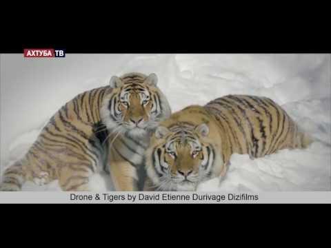 Амурские тигры во время охот…