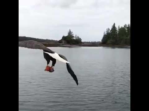 Орел украл у рыбака рыбу пря…