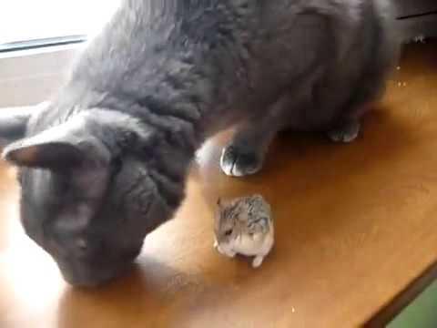 Нежная дружба кота и хомяка