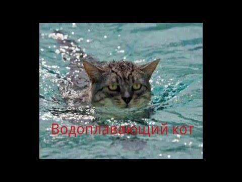 Коты боятся воды? Коты не умеют плавать? Попробуем опровергнуть данные убеждения.