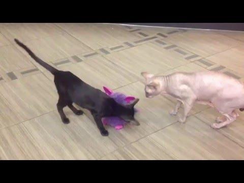 Коты играют с Фёрби