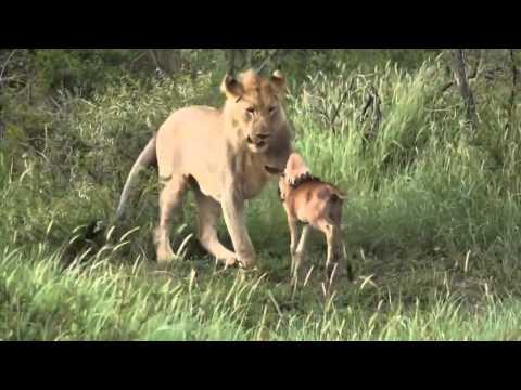 Лев спас маленькую антилопу