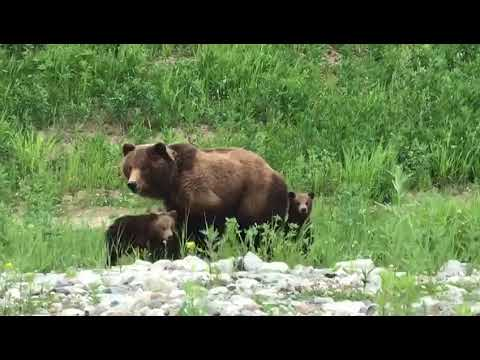 Медведица с тремя медвежатам…