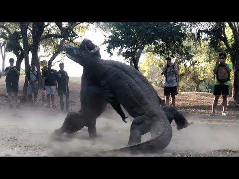 Битва гигантских варанов в Индонезии