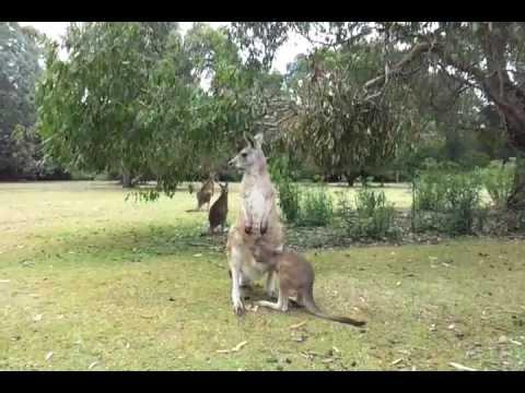 Как они это делают: кенгуру …