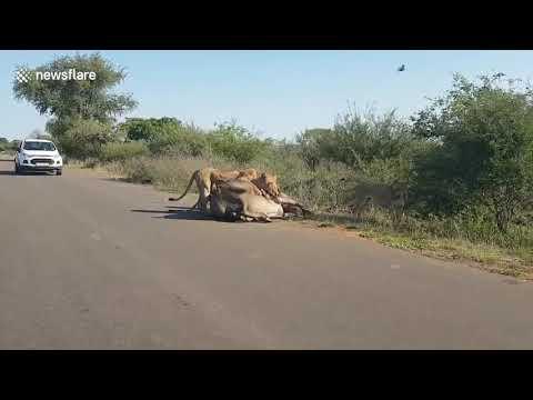 Четыре льва против буйвола. Впечатлительным не смотреть!