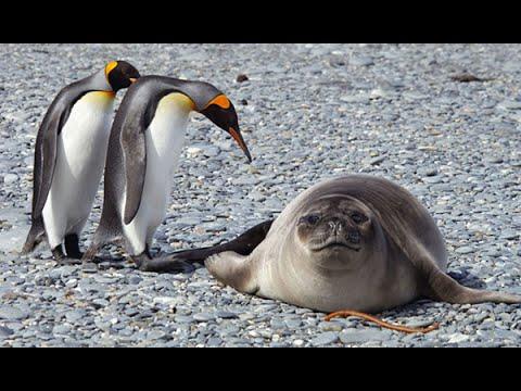 Забавные пингвины в Арктике