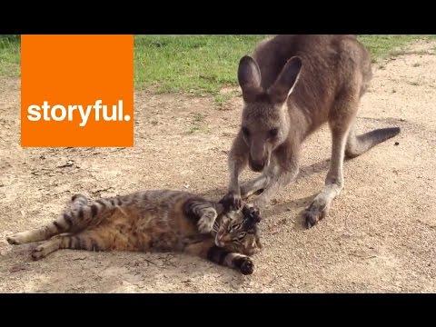 Кенгуру извиняется перед котом