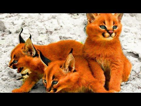 5 самых редких пород кошек