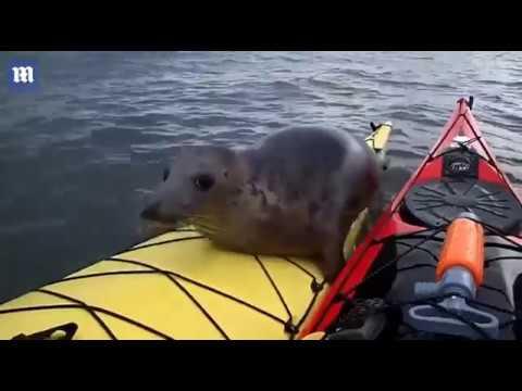 Тюлень-безбилетник решил про…