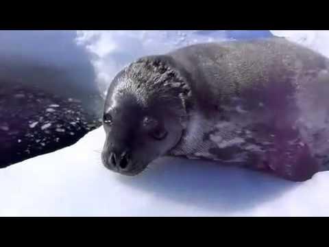 Тюлень учится плавать