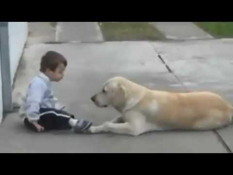Лабрадор впервые встречает мальчика с синдромом Дауна. От его реакции я просто онемел