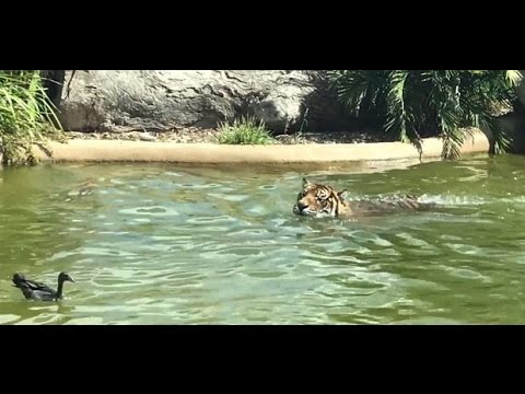 Наглая утка дразнит тигра