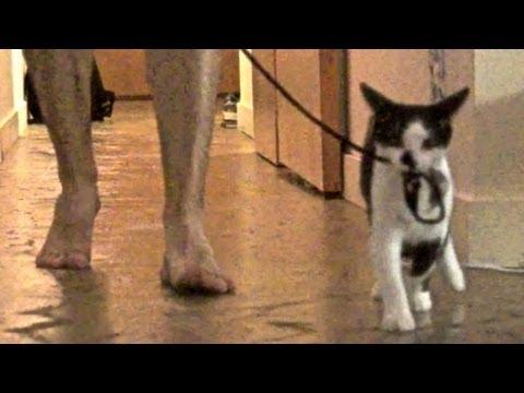 Урок для котов: «Как выгулив…