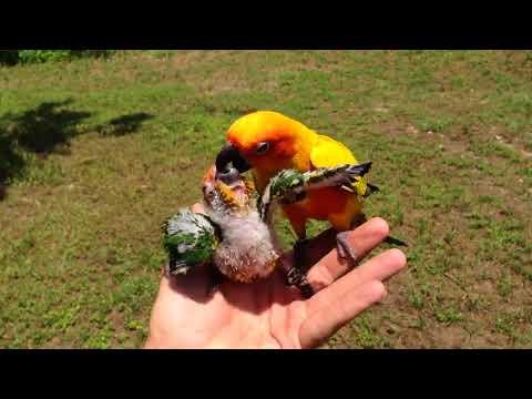 Папа-попугай пытается кормит…