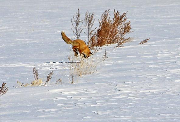 Лисья охота