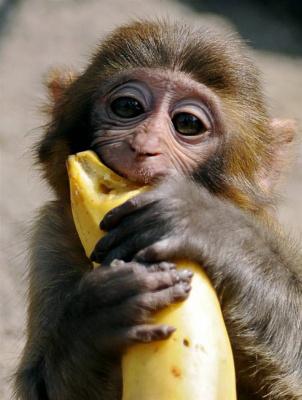 Мартышко  точет банан