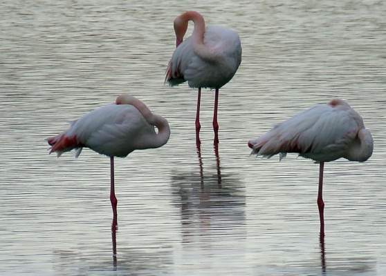 Спящие на воде фламинго