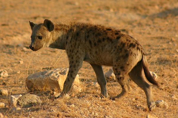 В чём особенность гиен, чем они отличаются от других животных?