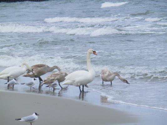 Лебеди на городском пляже в г.Пионерскоми,Калининградская обл.