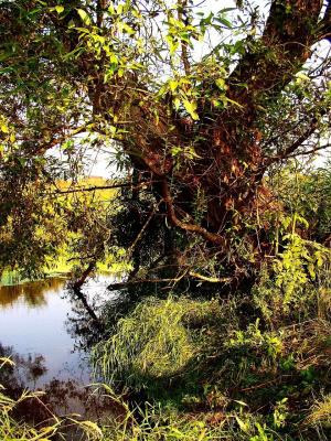 Дерево у реки