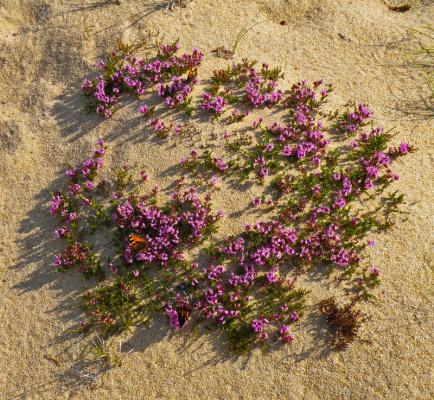 Чабрец на песке