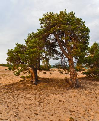 Деревья аномальной зоны