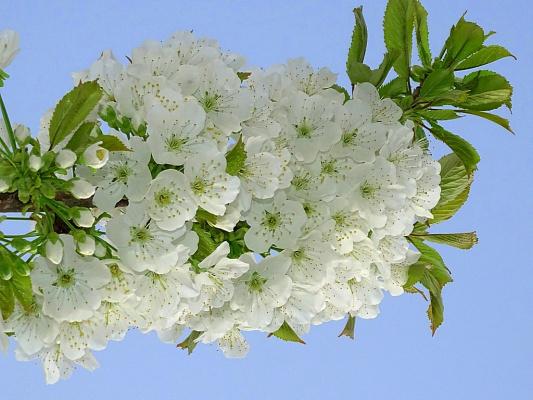 Цвет Черешни