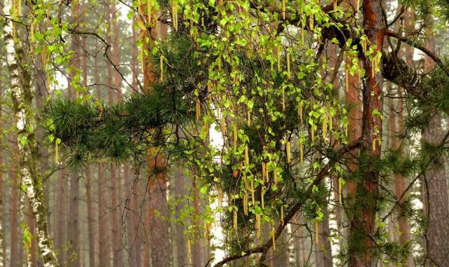 Смотри, как листьем молодым Стоят обвеяны березы, Воздушной зеленью сквозной, Полупрозрачною, как дым…