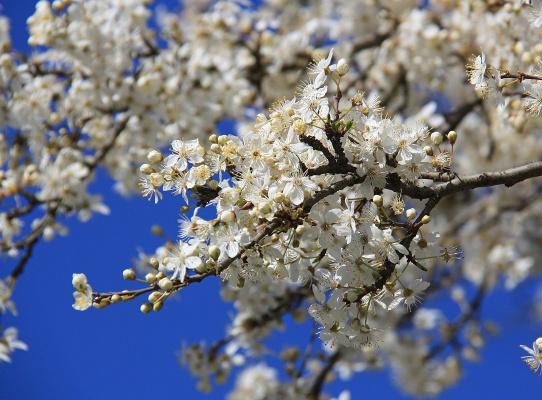 Буйное цветение Алычи